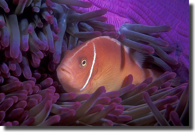 The vibrant sea pink clownfish for Clown fish scientific name
