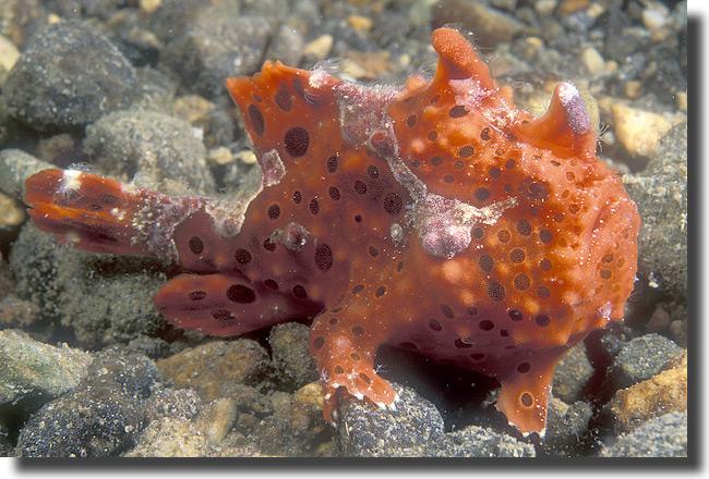 Frogfish spongebob